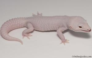 leopard gecko for sale super snow diablo blanco male