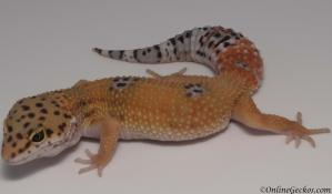 leopard gecko for sale tangerine female