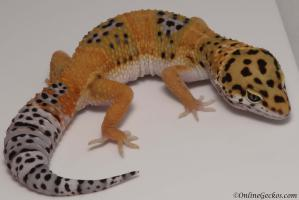 leopard gecko for sale tangerine het tremper female