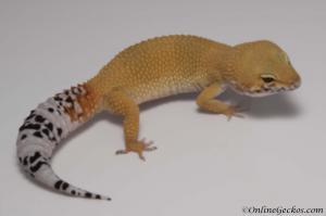 leopard gecko for sale tangerine tornado female M17F55080217F