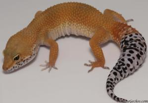 leopard gecko for sale tangerine tornado female