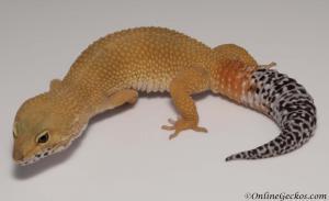 leopard gecko for sale tangerine tornado female M17F56071617F