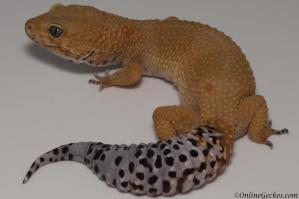 leopard gecko for sale tangerine tornado female proven