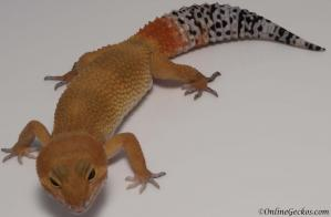 leopard gecko for sale tangerine tornado male