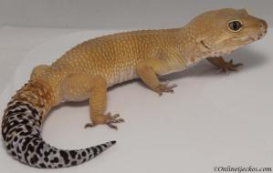 leopard gecko for sale tangerine tornado male proven breeder