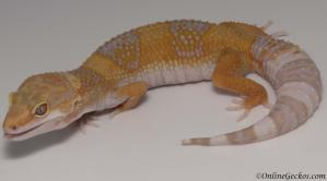 leopard gecko for sale tangerine tremper albino female