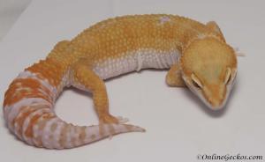 leopard gecko for sale tremper sunglow female M1F30081517F