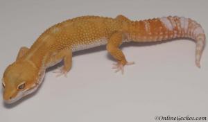 leopard gecko for sale tremper sunglow male M1F30073117M