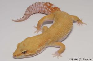 leopard gecko for sale tremper sunglow male M1F30090517F