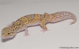 leopard gecko for sale wy radar het white knight female M22F61091617F2