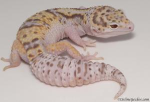 leopard gecko for sale white