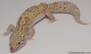 radar het white knight leopard gecko for sale female