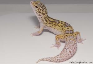 radar het white knight leopard gecko for sale male