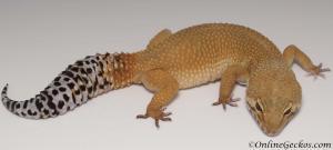 Tangerine tornado leopard gecko for sale female