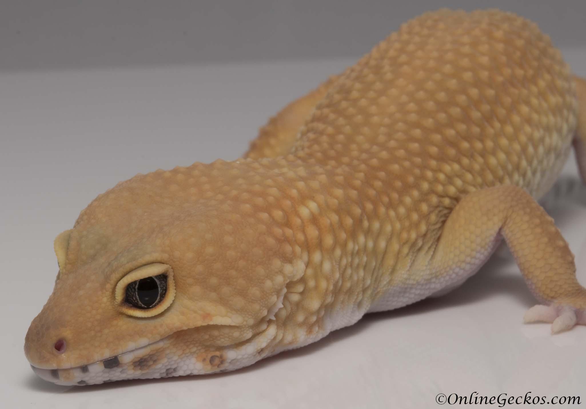 Charmant Gecko Mit Haube Anatomie Galerie - Anatomie Von ...