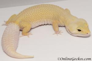 leopard gecko for sale cyclone female
