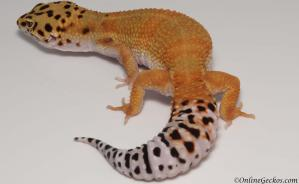 leopard geckos for sale blood tangerine female
