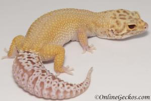 leopard geckos for sale radar female