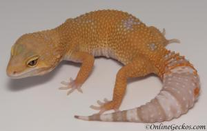 leopard geckos for sale blood albino female