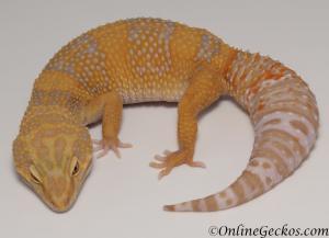 leopard gecko for sale blood albino female