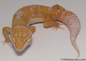 leopard geckos for sale blood albino male