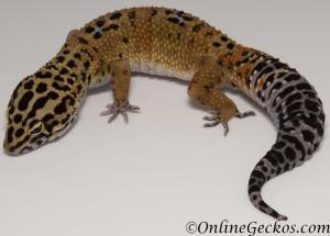 leopard gecko for sale bold tangerine male