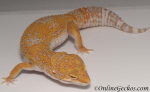 leopard geckos for sale giant high contrast tangerine tremper albino female