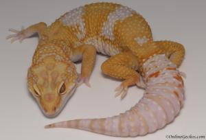 leopard geckos for sale giant high contrast tangerine tremper albino male