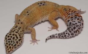 leopard geckos for sale giant tangerine het tremper female