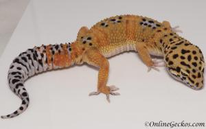 leopard geckos for sale giant tangerine male