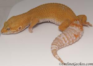 leopard geckos for sale giant tremper sunglow female