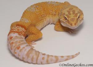 leopard gecko for sale high contrast tangerine tremper albino male