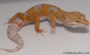 leopard geckos for sale high contrast tremper albino male