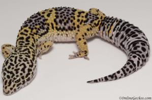 Leopard gecko for sale high yellow het typhoon female