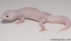 leopard geckos for sale mack snow diablo blanco female