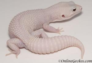 leopard geckos for sale mack snow diablo blanco male