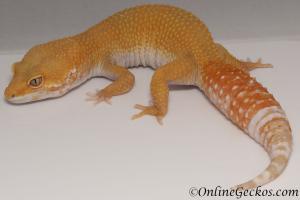 leopard geckos for sale tremper sunglow female