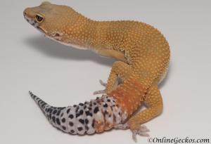 Sold - Super Hypo Tangerine Carrot-tail Baldy Male Leopard Gecko For Sale M25F87053019M