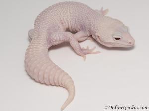 leopard geckos for sale super snow diablo blanco female
