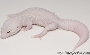 leopard geckos for sale super snow diablo blanco male