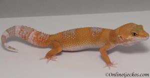 leopard geckos for sale tangerine albino female