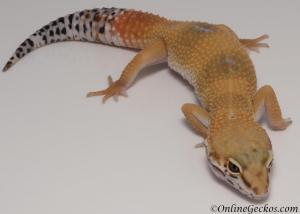 leopard geckos for sale super hypo tangerine female