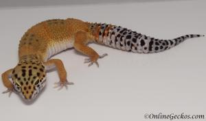 leopard gecko for sale tangerine female