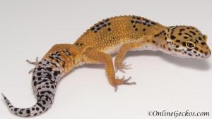 leopard geckos for sale tangerine female