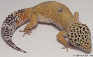 leopard geckos for sale tangerine female