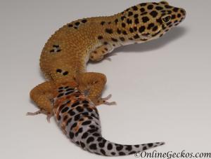 leopard gecko for sale tangerine male