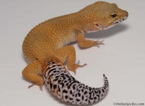 leopard geckos for sale tangerine tornado female