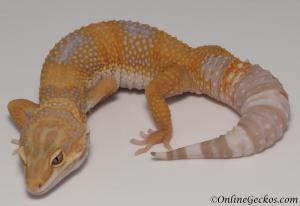 leopard geckos for sale tangerine tremper albino female