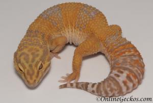 leopard geckos for sale giant tangerine tremper albino female