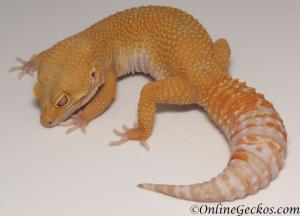 leopard gecko for sale tremper sunglow female